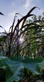 sugarcanesun