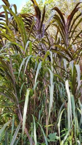 sugarcanetall